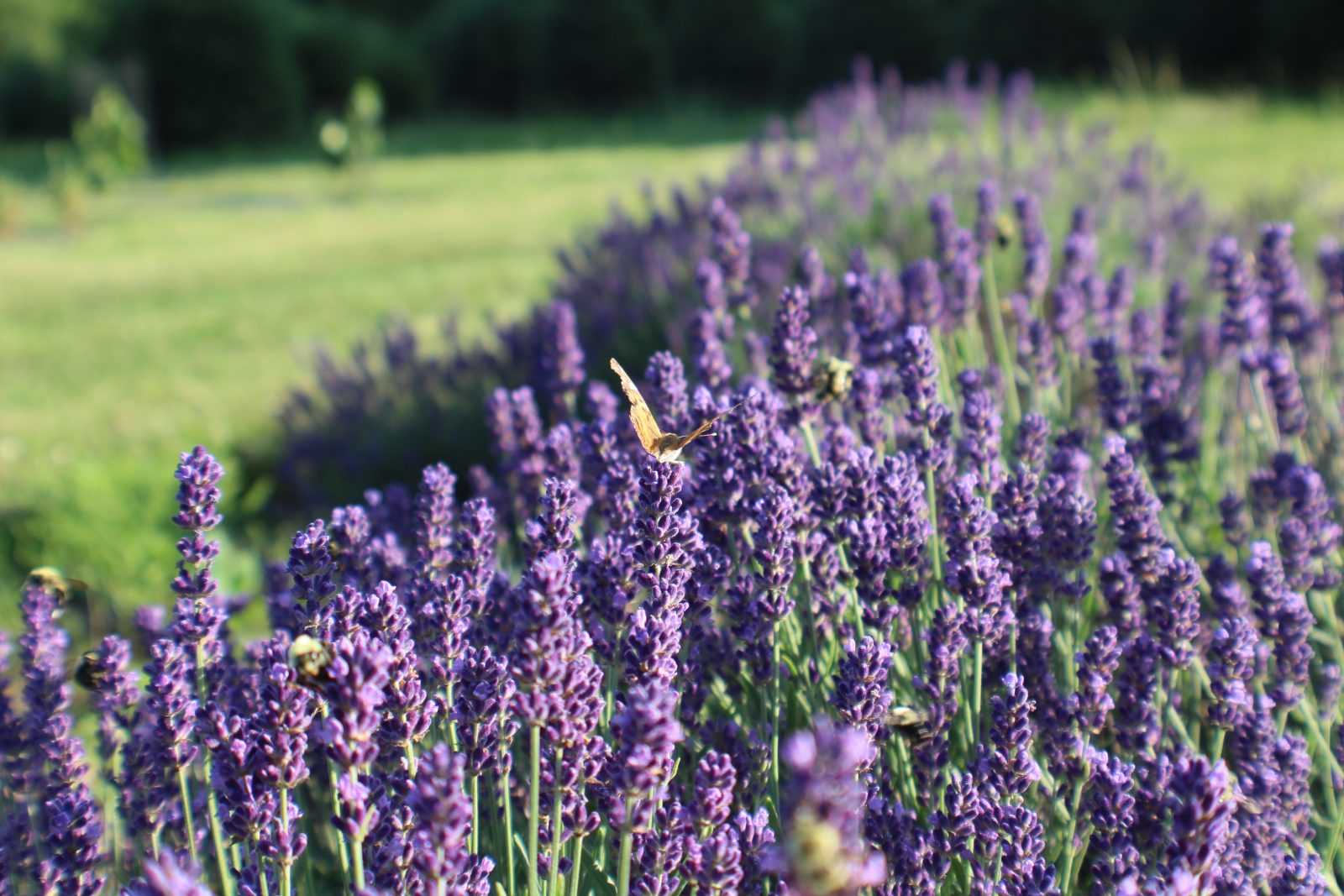 Lavender Fields | Hope Hill Lavender Farm | Located In Pennsylvania