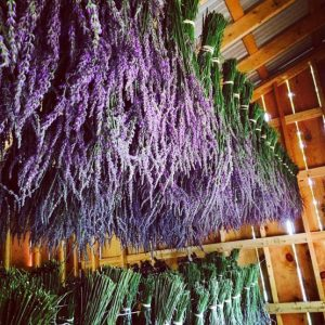 Lavender Farm PA | Hope Hill Lavender Farm | Pennsylvania